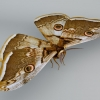 papillon02